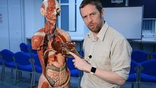 Gallbladder and biliary tree (anatomy, gallstones)