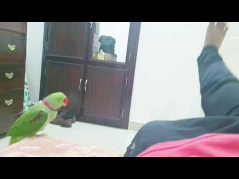 Nissaram - parrot doing exercise