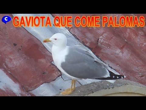 Gaviota asesina comiendose una paloma