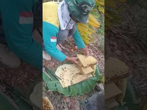 Memanen telur/larva 🐝 lebah liar hutan
