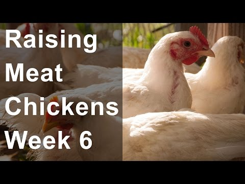 , title : 'Raising Chickens for Meat: Week 6 of 8, Feeding Grain