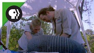 Vets Examine Giant Armadillo