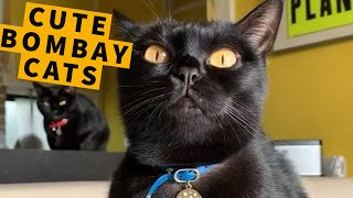 Cute Bombay Cats & Compilation! - Black Cat Breeds And Behavior | Master Gorilla