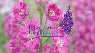Dowdeswells Delphiniums Tips For Getting The Best Out Of Your First Flowering