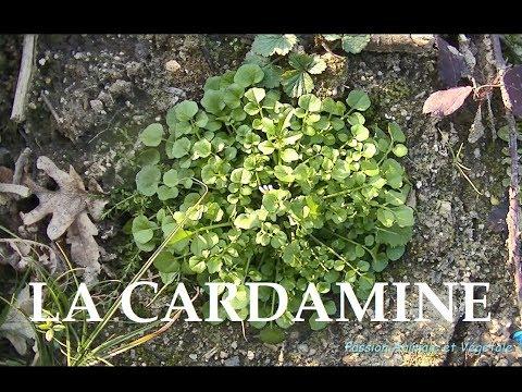 La Cardamine, plante sauvage comestible riche en vitamines A et C
