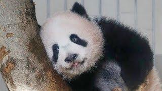 18日に報道公開されたシャンシャン=上野動物園