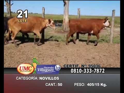 Lote 50 Novillos en Col. Sta Rosa, Corrientes