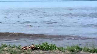 preview picture of video 'Bouledogue à St.Benoit - La Réunion de Famille'