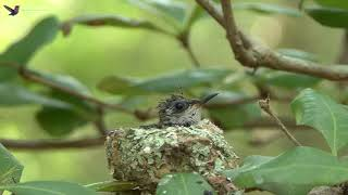 Bee Hummingbird  Chicks on Nest