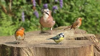 Videos for Cats To Watch - Birds Chirping and Bird Sounds in Bluebell Garden