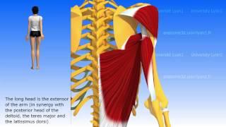 The triceps brachii