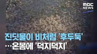 진딧물이 비처럼 '후두둑'…온몸에 '덕지덕지' (2020.09.16/뉴스데스크/MBC)