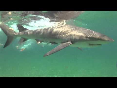 Schnorcheln waehrend der Sharkschool 2010, Shark School,Bahamas