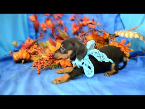 Alvin Black Tan Male Miniature Dachshund Puppy for sale.
