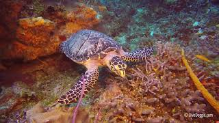 How to Identify Green Sea Turtles