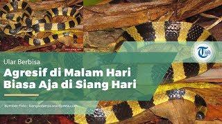Ular Welang (Bungarus fasciatus)