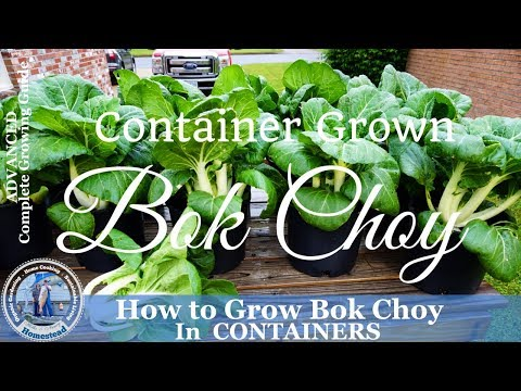 How to Grow Bok Choy in Containers