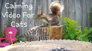 Calming TV FOR CATS To Watch - Squirrels On A Stump 8 HOURS