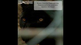 Возле станицы Раевской под Новороссийском заметили черного леопарда