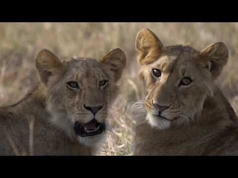 Head out in with our Saruni guides to discover the only too natural circle of life that awaits you in the Masai Mara. Watch these lions and their cubs get in on the wildebeest action that is meal time. Viewer discretion advised - contains scenes from nature.