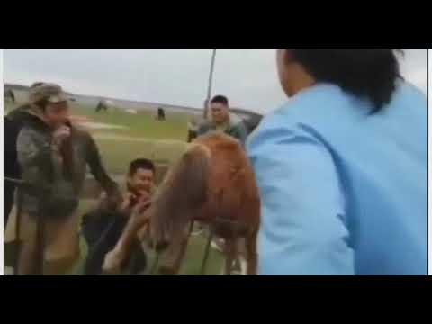 Видеофакт: В Якутии спасатели вызволили застрявшего в ограде жеребенка