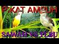 Download Lagu suara pikat ampuh 2 kombinasi prenjak klik VS prenjak tebu Mp3 Free