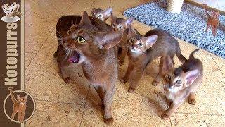 Котята поели и давай играть! :) [kotopurrs]