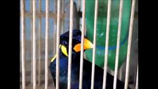 preview picture of video 'Bird shop in Melak town, Kalimantan Timur'