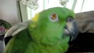 Попугай поет   Обалдеть