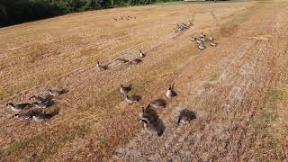 DJI FPV - Tries to blend in with flock of Canadian Geese!