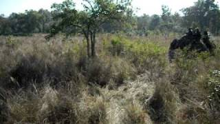 Kanha-Kisli National Park: Tigress in action!
