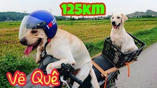 Củ Cải Kim Chi và hành trình 125km về thăm quê, thăm ông bà | My dogs come back home after 4 months