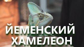 Смотреть онлайн Стоит ли заводить хамелеона