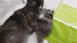 Купава с мамой. Возраст котенка 32 дня