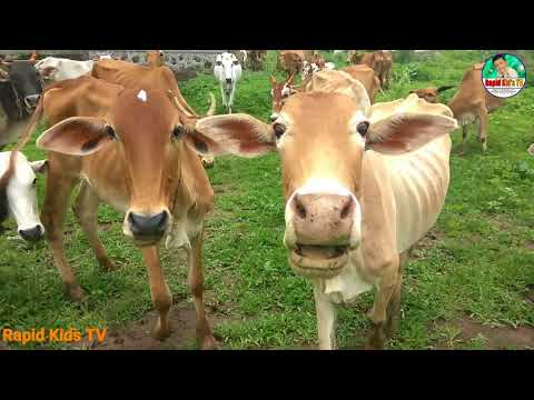 , title : 'Kids Cow Videos | Kids Cow Video With Mooing Sound Without Music | Kids Cow Videos for Kids & Parent