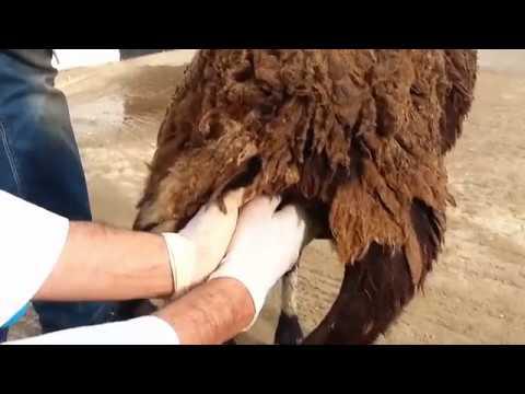 Quenduire les pieds après flebektomii