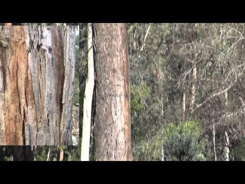 Arboreto de eucalyptus en El Colmenar, Cortes de la Frontera