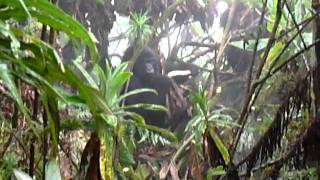 preview picture of video 'Rwanda - Berggorilla'