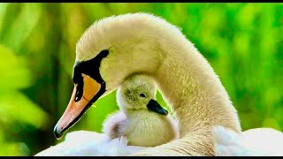 Unusual, Swan Couple with their 6 New Born Babies & Guardian Goose