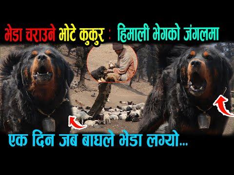 हिमालको भोटे कुकुर ।। Bhote Dog of the Mountains.