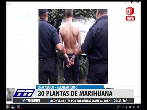 30 plantas de marihuana