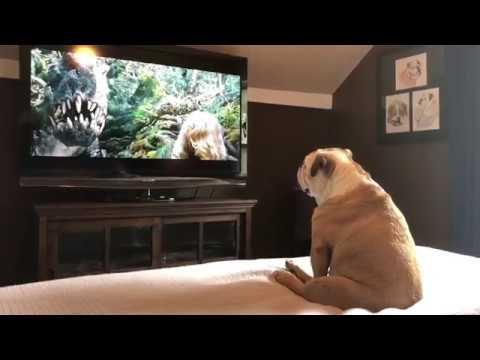 Бульдог очень эмоционально смотрит кино и реагирует на агрессию