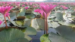 preview picture of video 'Beautiful water Lily Garden/fram in Bangladesh'