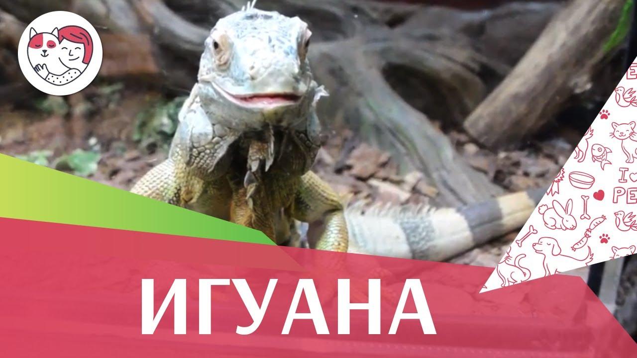 Игуана Питание на ilikepet