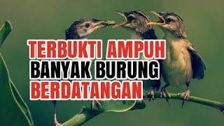 CARA PIKAT SEMUA JENIS BURUNG KECIL MENGGUNAKAN SUARA Part.1