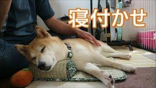 柴犬小春 マッサージメロメロ犬【MELTY DOG】massage   Kholo.pk