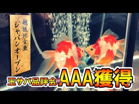 【金魚】玉サバ品評会に初出品!まさかの結果に…。Goldfish