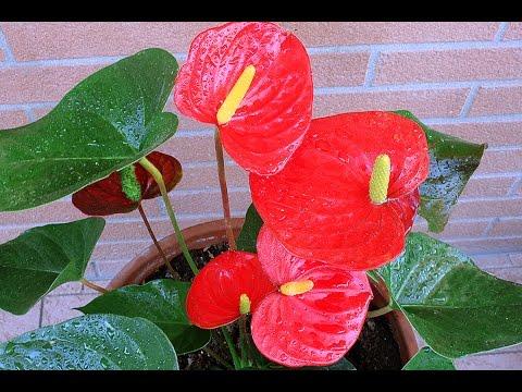 Мои Цветы. Как Ухаживать за Антуриумом