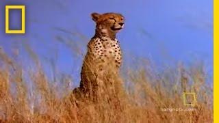Cheetah vs. Gemsbok   Fast and Furious thumbnail