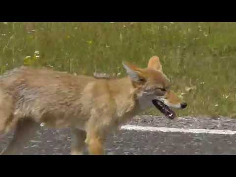 Coyote Goes After A Domestic Dog In Yellowstone